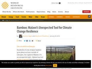 Bamboo: Malawi's Unexpected Tool for Climate Change Resilience